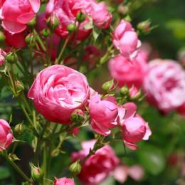 GA37 젤캔들 겸용 향료-후레쉬 컷 로즈(Fresh Cut Roses:Yankee Type)-100ml